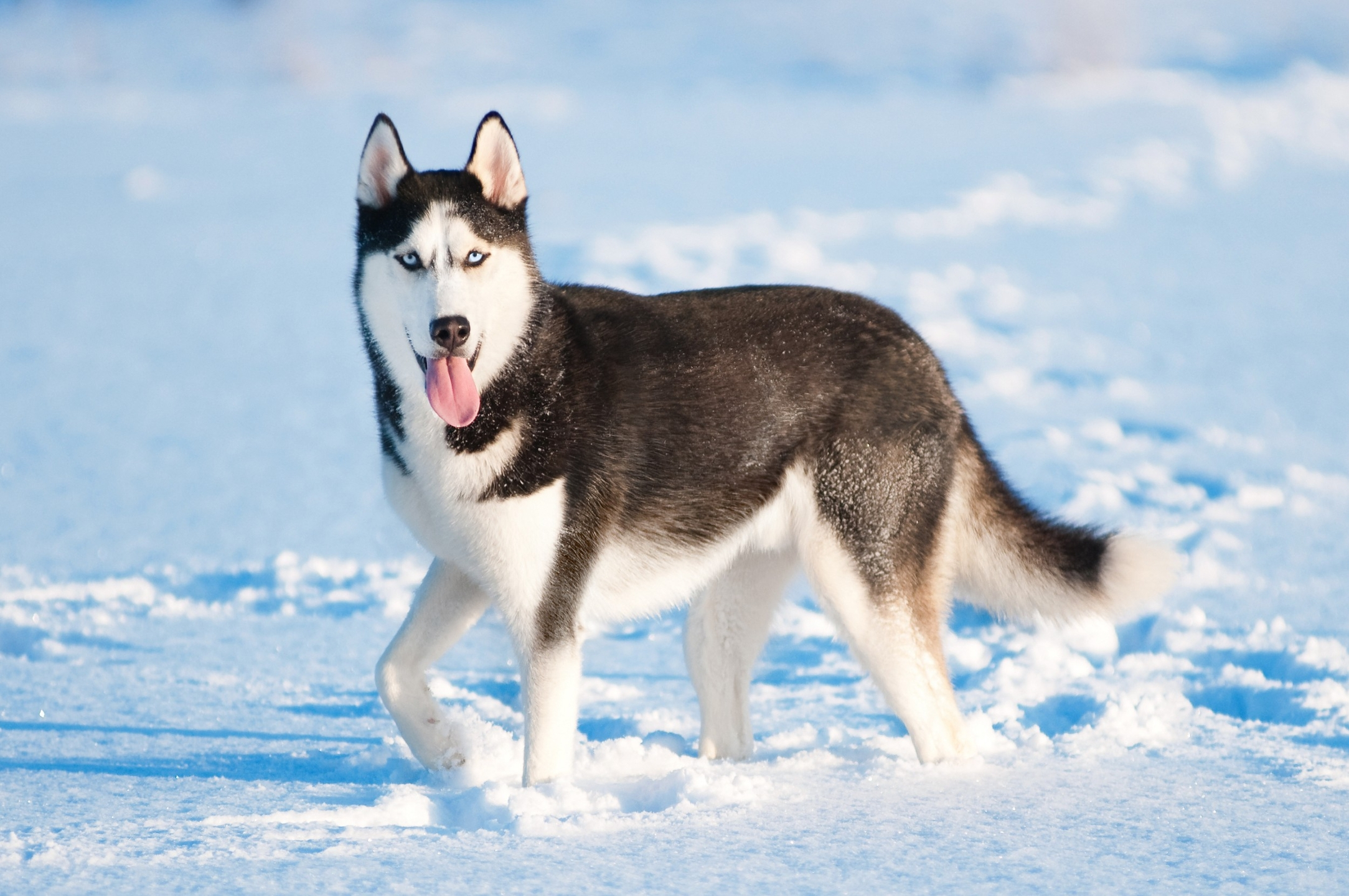Cachorro Husky Siberiano (@huskysiberianodog) Cover Image