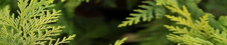 Conifer Kingdom (@coniferkingdomusa) Cover Image
