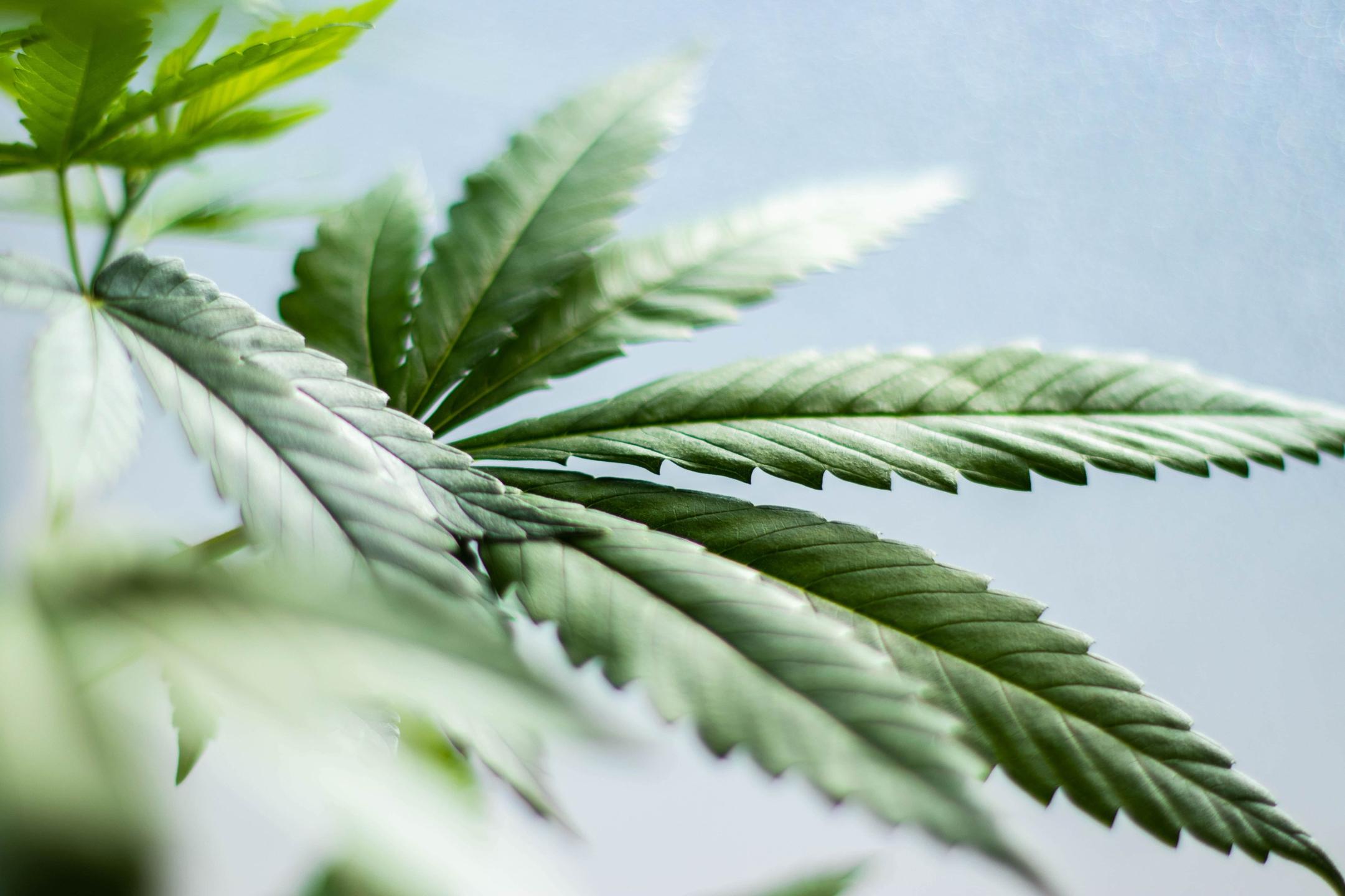 CBD Olja | DR. Herbals LTD  (@drherbals) Cover Image
